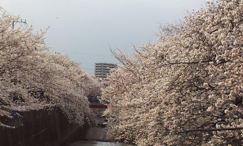 20130323sakurahasi_2