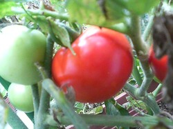 Tomatoyong_4